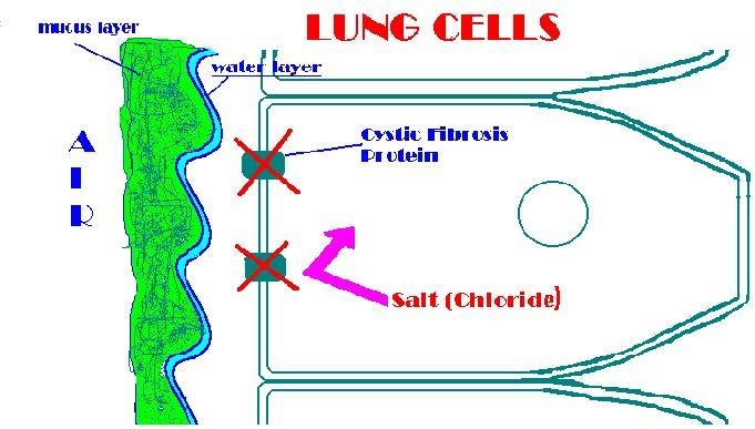 Cystic Fibrosis - Cell-ebration!